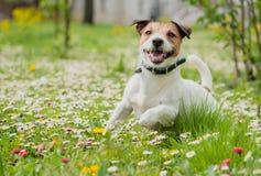 Wiosny scena z szczęśliwym psem bawić się na kwiatach przy świeżym zielonej trawy gazonem fotografia stock