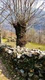 Wiosny stary drzewo obrazy royalty free