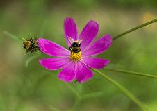 Wiosny stokrotki pojedynczy kwiat i pszczoła Obrazy Royalty Free