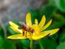 Wiosny stokrotki pojedynczy kwiat i pszczoła Zdjęcia Stock
