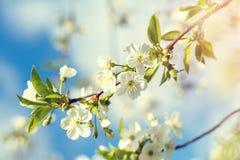 Wiosny tła sztuka z białym czereśniowym okwitnięciem Zdjęcia Royalty Free