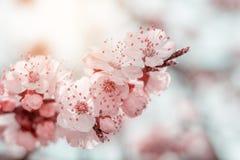 Wiosny tła sztuka z menchii okwitnięciem Obrazy Stock