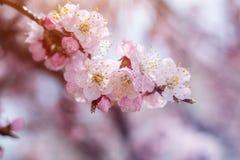 Wiosny tła sztuka z menchii okwitnięciem Fotografia Stock