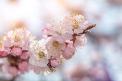 Wiosny tła sztuka z menchii okwitnięciem Zdjęcia Royalty Free