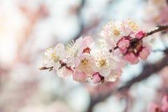 Wiosny tła sztuka z menchii okwitnięciem Obraz Stock