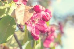Wiosny tła sztuka z różowym jabłczanym okwitnięciem Fotografia Stock