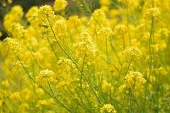 Wiosny tło żółci rapeseed kwiatu pola w świetle słonecznym Obrazy Royalty Free