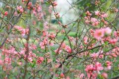 Wiosny tło, menchia kwiaty i zieleń pączki, Fotografia Stock