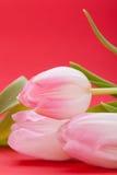 Wiosny tło smakołyk menchii tulipany zdjęcia royalty free