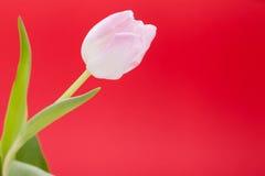 Wiosny tło smakołyk menchii tulipany zdjęcie royalty free