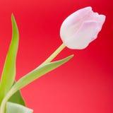 Wiosny tło smakołyk menchii tulipany fotografia royalty free