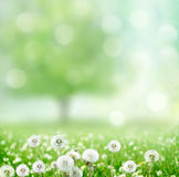 Wiosny tło z dandelion Zdjęcia Royalty Free