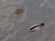 Wiosny tło z dwa pływa kaczkami Fotografia Stock