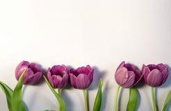 Wiosny tło z granicą od purpurowych tulipanów i kopii przestrzeni Fotografia Royalty Free