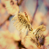Wiosny tło z kwitnąć wierzbowe bazie Obraz Stock