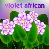 Wiosny tło z okwitnięcia śniadanio-lunch afrykańscy fiołki kwitnie wektor Zdjęcia Stock
