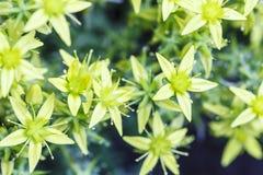 Wiosny tło z pięknymi żółtymi kwiatami Obrazy Royalty Free
