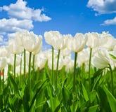 Wiosny tło z pięknymi białymi tulipanami Obraz Stock