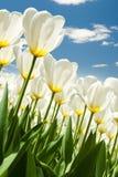 Wiosny tło z pięknymi białymi tulipanami Zdjęcie Royalty Free