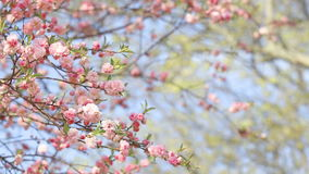 Wiosny tło Sakura drzewo zbiory wideo