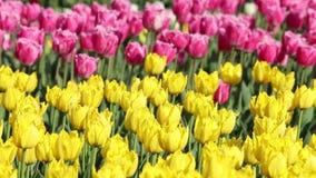 Wiosny tło tulipanu pole zdjęcie wideo