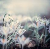 Wiosny tło z wiosna kwiatami Zdjęcia Stock