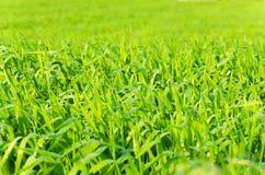 Wiosny trawy zieleni tło Zdjęcie Stock