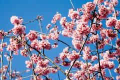 Wiosny wiśni kwiaty obraz royalty free