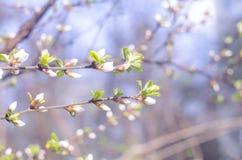 Wiosny wiśni lub jabłoni piękne kwitnie gałąź Wiosny tło z bliska Wiosny gałąź drzewo z blossomi, Zdjęcia Royalty Free