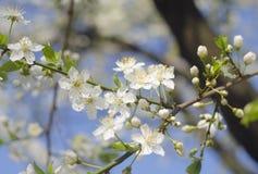 Wiosny wiśni lub jabłoni piękne kwitnie gałąź Wiosny tło z bliska Wiosny gałąź drzewo z blossomi, Obrazy Stock