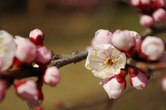 Wiosny wiśnia Obrazy Stock
