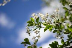 Wiosny wiśnia Obrazy Royalty Free