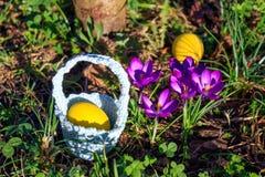 Wiosny Wielkanocny tło z barwionymi jajkami, krokus kwitnie, kosz w ogródzie zdjęcia royalty free