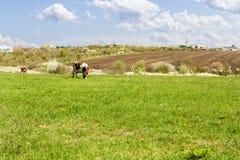 Wiosny wsi krajobraz z łąką, grunt orny i zwierzętami, fotografia stock