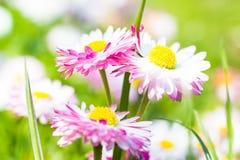 Wiosny zbliżenia stokrotki ogrodowy kwiat Obraz Royalty Free