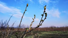 Wiosny zieleń pączkuje przeciw niebieskiemu niebu i biel chmurnieje fotografia royalty free
