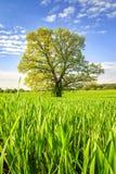 Wiosny zielona łąka z dużym drzewem na jaskrawym słonecznym dniu Wiosna krajobraz zielona natura Scenerii lata pole z trawą Fotografia Royalty Free