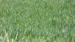 Wiosny zielona trawa w wiatrze zbiory