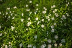 Wiosny zielonej trawy tekstura z białymi kwiatami Zdjęcie Stock