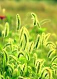 Wiosny zielony bristlegrass Obraz Stock
