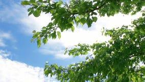 Wiosny zielony ulistnienie śliwkowy drzewo kiwa w wiatrze niebieskie niebo zdjęcie wideo