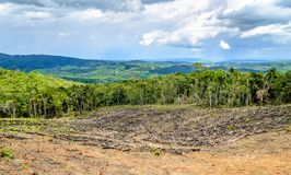 Wiped tree in the eucalyptus production forest. Minas Gerais , B. Razil royalty free stock photo