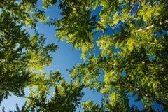 Wipfel belichtet durch Sonnenlicht auf Hintergrund des blauen Himmels lizenzfreie stockbilder