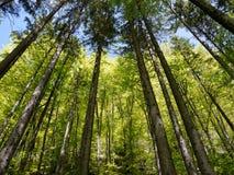 Wipfel im Wald Stockfotos