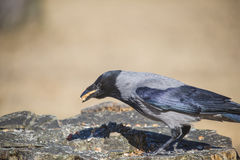 Mit Kapuze Krähe, Corvus cornix, mit dem Schnabel voll Lizenzfreie Stockfotografie