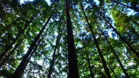 Wir strzelający cedrowy lasowy przyglądający up zdjęcie wideo