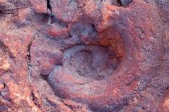 Wirbellose Fossilien Stockfoto