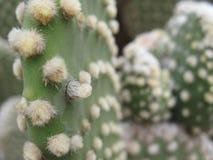 Wirbelloser Kaktus, unbehaart auch genannt stockfotografie