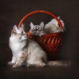 Wird schöne Neva-Maskerade Zucht der Katze drei mit einem baske gespielt stockfotografie