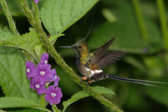 Wire-crested Thorntail. Arriving to feed on a verbena flower, Ecuador Stock Images